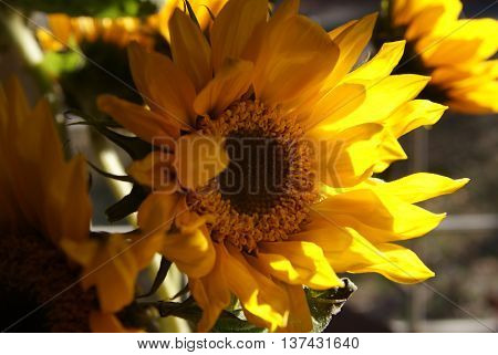 Helianthus, single sunflower with diffused light, sunny
