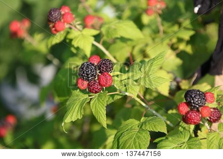 Black raspberries , Rubus occidentalis, ripening at the tip of a cane in a home garden