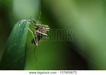 The mosquito on leaves grass green background
