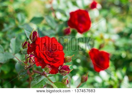 Closeup of red garden rose in sunlight with water droplets after rain