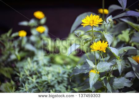 Close view of yellow Arnica herb blossoms