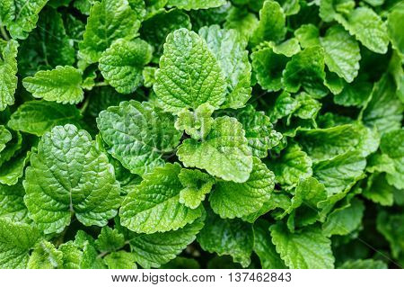 mint melissa herbal plant nature green background