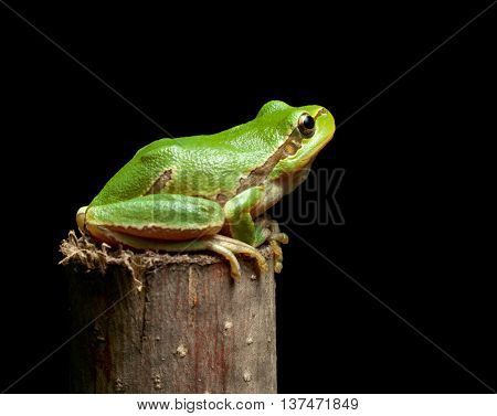 Tree Frog Sitting On Branch Top