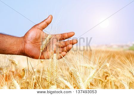 African man hand holding wheat ear in sunny field - Black male walking through grain harvest in hot summer day - Concept of ancient human rural activities and love for result of hard work