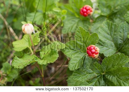 Keep up with the north cloudberries in the wild forest in the swamp on a white sphagnum moss. Organic rare berry