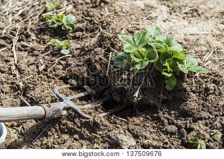 Digging spring soil with pitchfork in garden