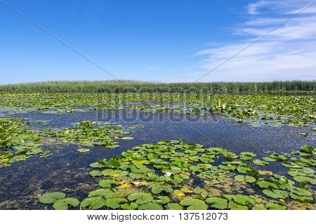 Marsh Filled with Lily Pads and Lotus Flowers on a Sunny Day
