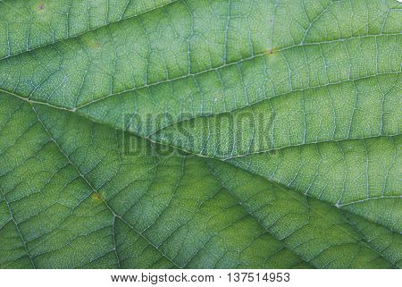 Close up of a viens in a green leaf