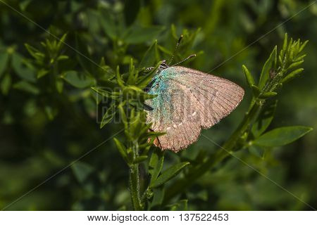 A green hairstreak is sitting on a branch