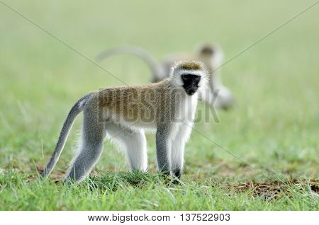 monkeys in african natural park
