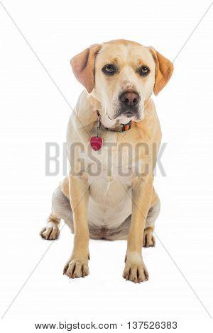 Yellow dog sitting with collar looks sad