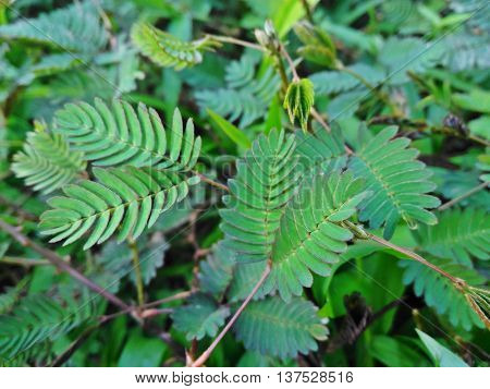 Sensitive plant or Sleepy plant  from Thailand.