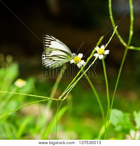 A butterfly in rape seed wind flowers