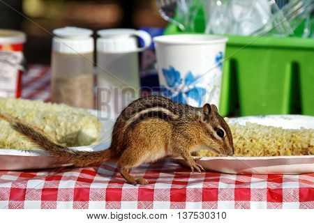 A chipmunk eating corn ears on a campground picnic table.