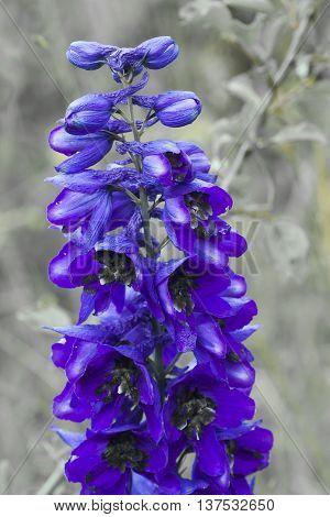 an intense blue colour on a delphinium plant