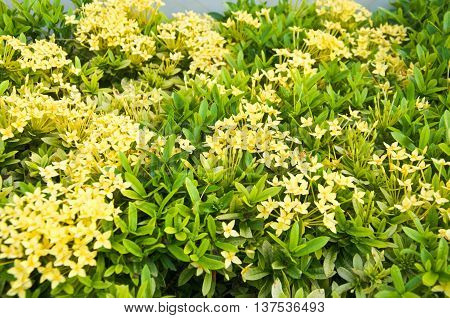 panicle of yellow Ixoras West Indian Jasmine flower on it's plant