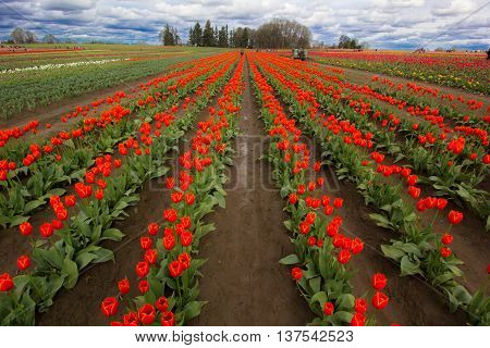 A colorful field of red tulips in Oregon in springtime