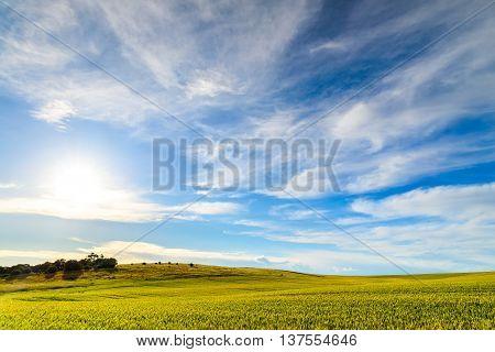Green wheat field in Barossa Valley South Australia