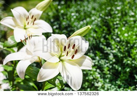 White Flowers Of Lilium In Green Garden