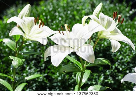 Few White Flowers Of Lilium In Green Garden
