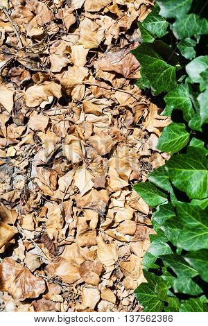 fallen brown and fresh green leaves of ivy plant in sunny day poster