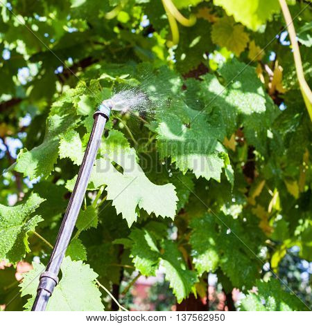 Treatment Of Vineyard By Insecticide
