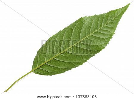 Back Side Of Green Leaf Of Wild Cherry Tree