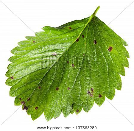 Green Leaf Of Garden Strawberry Plant Isolated