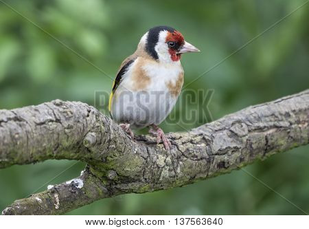 Male goldfinch perched on a tree branch