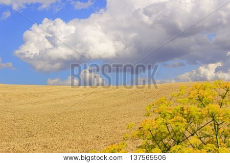 Between Apulia and Basilicata.Hilly landscape with cornfields.ITALY .Hilly landscape: early morning with wheat field dominated by clouds.