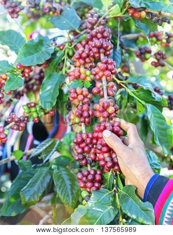 Akha hill picking arabica coffee berries in red and green on its branch tree at plantation