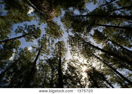 Pine Trees Reaching Sky