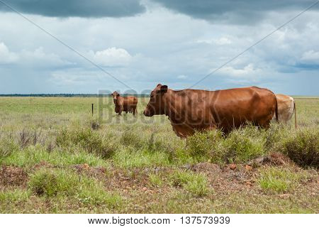 Cattle on outback station in Australia with green grass