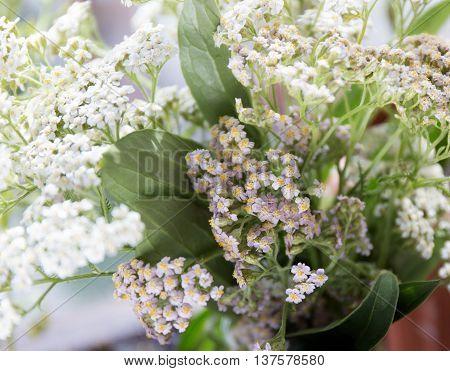 Achillea millefolium, known commonly as yarrow. Wildflower macro