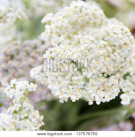 Achillea millefolium, known commonly as yarrow. Wildflower macro