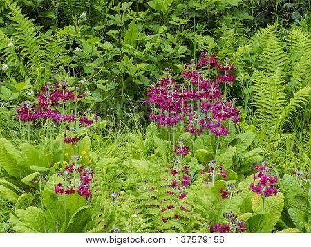 wetland garden in spring with candelabra primroses