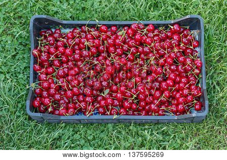 A Crate of fresh picked Cherries over green grass Horizontal Shot