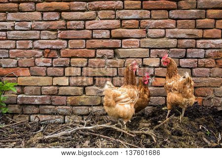 Hens in a farmyard (Gallus gallus domesticus)
