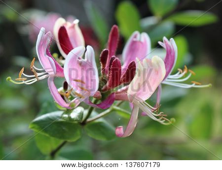 The flowers of Lonicera pericylmenum 'Belgica' also known as Dutch Honeysuckle or Dutch Woodbine.
