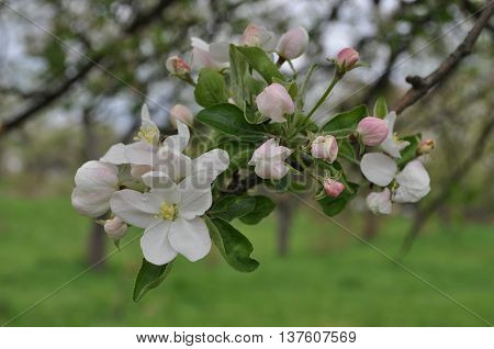 Fascinating delicate Apple color spring on May