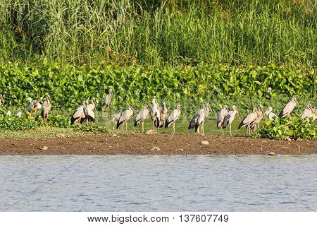 Flock of Asian Openbill or Open-billed stork in marsh