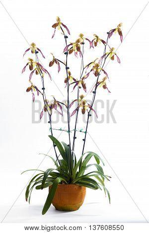 Paphiopedilum Berenice album Beautiful orchids that look strange.