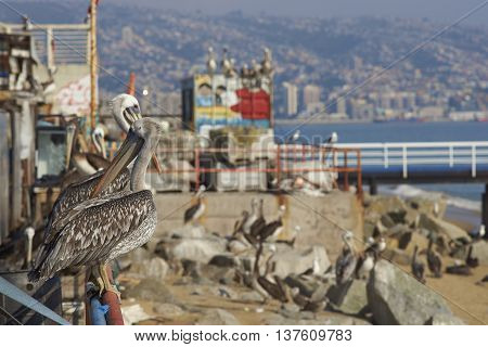 VALPARAISO, CHILE - JULY 5, 2016: Peruvian Pelican (Pelecanus thagus) standing on a railing at the fish market in the UNESCO World Heritage port city of Valparaiso in Chile.