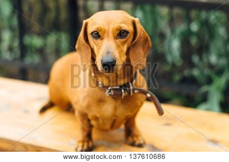 Dachshund Dog  In Outdoor. Beautiful Dachshund Sitting In The  W