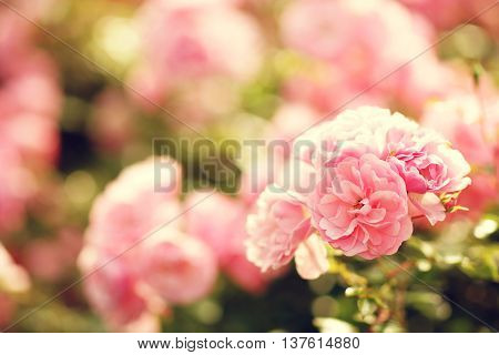 Pink roses bushes in blossom on a sunny summer day. Shallow DOF. Bokeh background of defocused blurred flowers