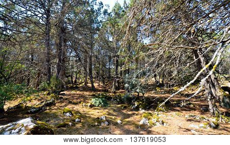 picture of an old foetid juniper forest on an island golem grad lake prespa macedonia