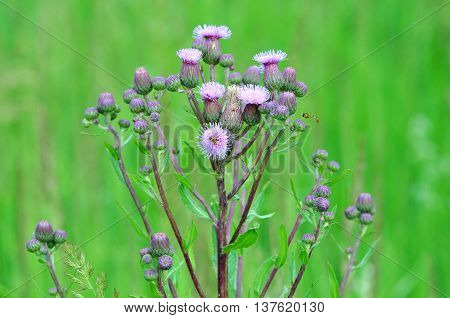 Cirsium arvense, thistles or pink - perennial herbaceous plants of the genus Thistle family Asteraceae or Compositae. Сreeping thistle, Cirsium setosum, bristly thistle.
