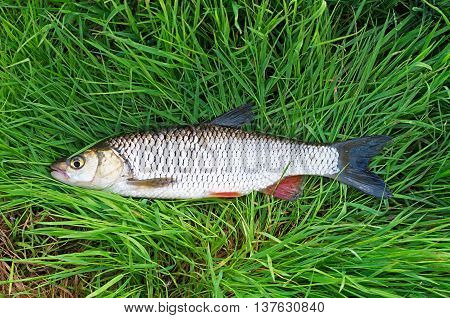 fished big chub lying on the grass