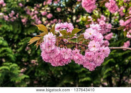 bud Sakura flowers on blurred background of green pine needles and cherry blossom