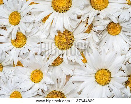 Background of fresh marguerite flowers
